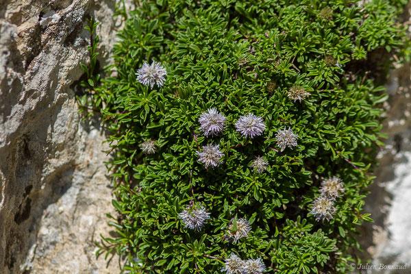 Globulaire rampante (Globularia repens) (Col du Pourtalet, Laruns (64), France, le 06/07/2019)