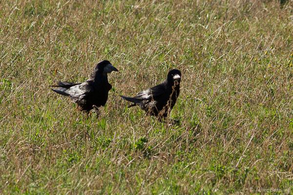 Corbeau freux (Corvus frugilegus) (Chabeuil (26), France, le 18/02/2020)