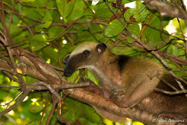 Tamandua (Tamandua tetradactyla) (Centre Spatial Guyanais, Kouraou, le 07/12/2016)