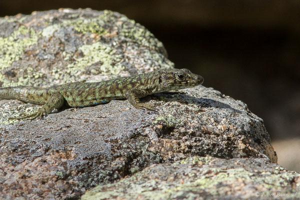 Lézard de Bedriaga (Archaeolacerta bedriagae) (mâle adulte) (Foret d'Aitone, Évisa (2A), France, le 11/09/2019)