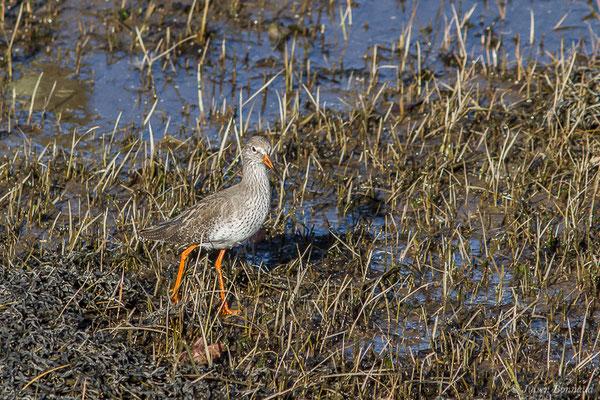 Chevalier gambette – Tringa totanus (Linnaeus, 1758), (adulte en plumage internuptial) (Parc écologique Plaiaundi, Irun, Espagne, le 20/12/2020)