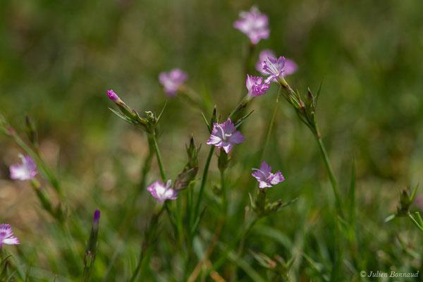 Oeillet du Béarn (Dianthus benearnensis) (Col du Pourtalet, Laruns (64), France, le 06/07/2019)