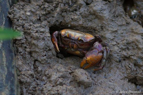 Crabe mantou (Ucides cordatus) (Ponton des pêcheurs, Kourou, le 25/01/2017)