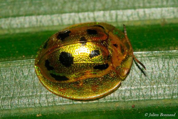 (Coptocycla undecimpunctata) (Sentier de la Mirande, Matoury, le 09/07/2015)