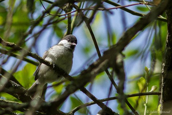 Mésange nonnette (Poecile palustris) (juvénile) (Parbayse (64), France, le 07/05/2020)