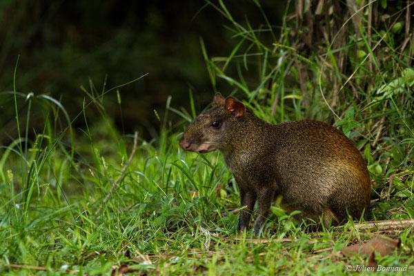 Agouti au croupion roux (Dasyprocta leporina) (Montsinéry, Guyane, le 09/07/2017)