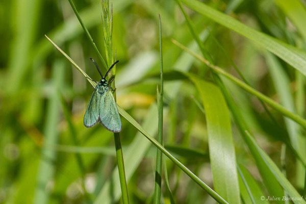 Turquoise (Adscita sp.) (mâle) (Sers (65), France, le 07/06/2019)