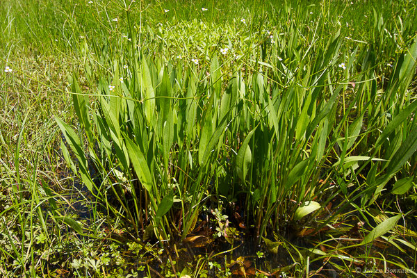 Grand plantain d'eau ou Plantain d'eau commun (Alisma plantago-aquatica) (Mourenx (64), le 20/05/2020)