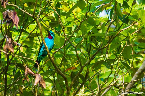 Cotinga de Cayenne (Cotinga cayana) (mâle adulte) (Yaou, Maripassoula, le 28/09/2016)