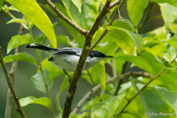 Gobemoucheron tropical (Polioptila lactea) (mâle adulte) (Iracoubo, le 12/07/2016)