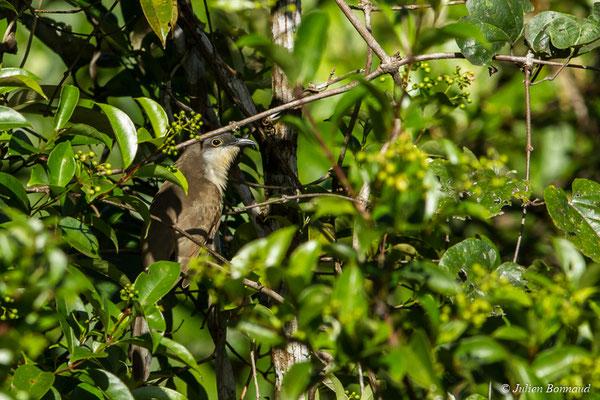 Coulicou de Vieillot (Coccyzus melacoryphus) (Macouria, le 03/08/2017)
