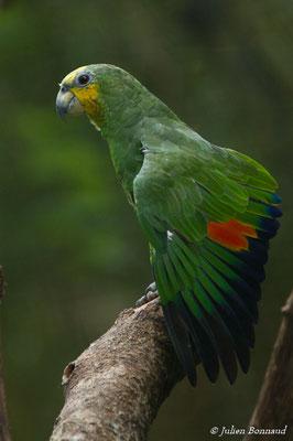 Amazone aourou (Amazona amazonica) (adulte) (Zoo de Guyane, le 30/07/2016)