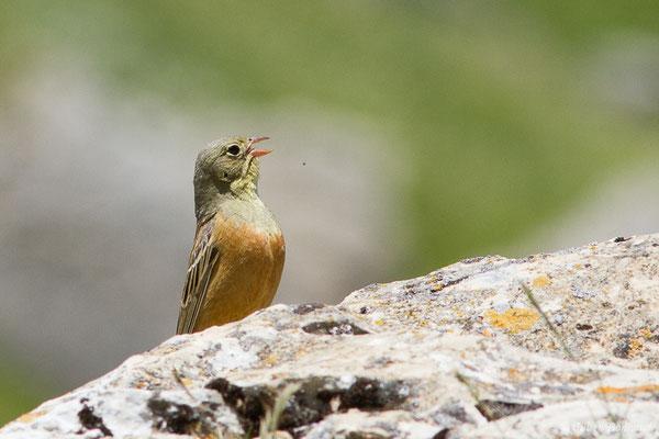 Bruant ortolan (Emberiza hortulana) (mâle adulte) (Col du Pourtalet, Laruns (64), France, le 22/06/2019)