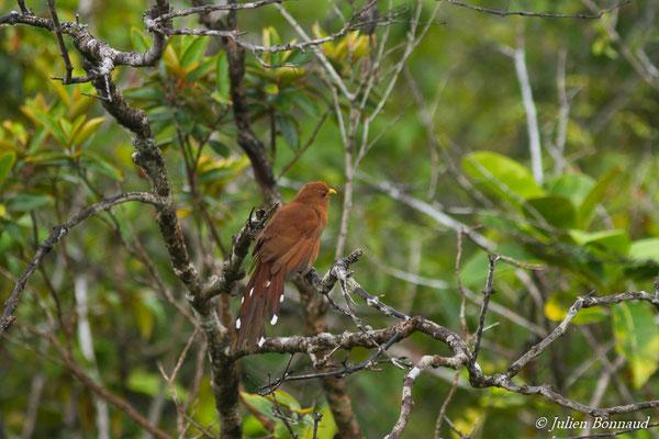 Petit Piaye (Coccycua minuta) (Centre Spatial Guyanais, Kourou, le 17/02/2017)