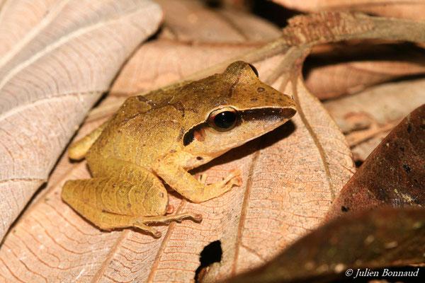 Hylode porte-X (Pristimantis chiastonotus) (Montagne des singes, le 27/06/2015)