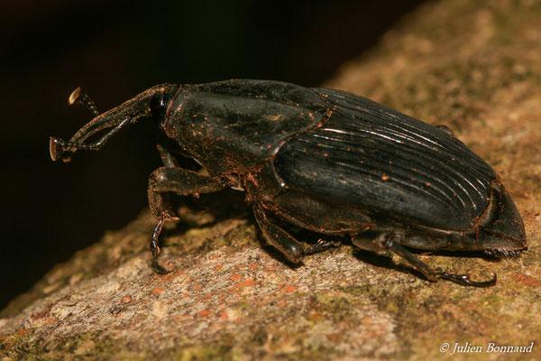 (Rhynchophorus palmarum) (Lycée Léon Gontran DAMAS, Remire-Montjoly, le 13/04/2015)