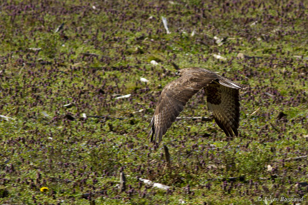 Buse variable (Buteo buteo) (Oroix (65), France, le 02/03/2018)