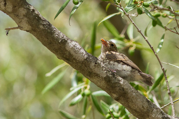 Gobemouche gris (Muscicapa striata) (juvénile) (Tarifa (Andalousie), le 02/08/2020)