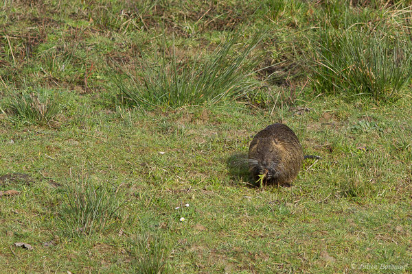 Ragondin – Myocastor coypus (Molina, 1782), (réserve des barthes de Saint-Martin-de-Seignanx (64), France, le 19/01/2019)