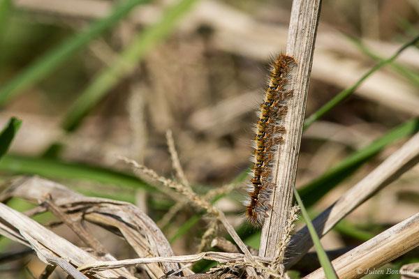 Bombyx du Chêne (Lasiocampa quercus) (Lacommande (64), France, le 24/03/2021)