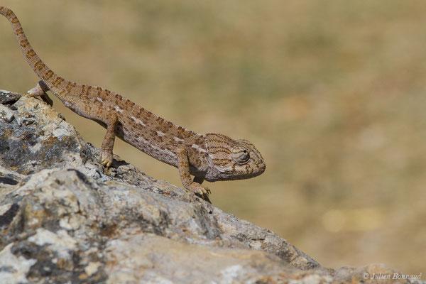 Caméléon commun – Chamaeleo chamaeleon (Linnaeus, 1758), (Ria Formosa (Faro), (Algarve), Portugal, le 01/09/2018)