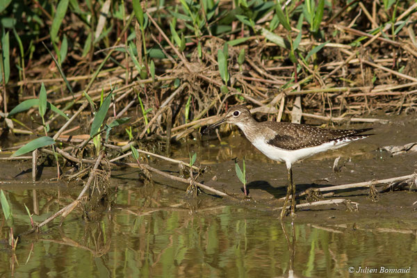 Chevalier solitaire (Tringa solitaria) (adulte, plumage internuptial) (La Césaré, macouria, Guyane, le 03/09/2017)