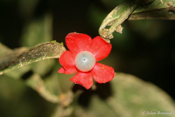 Heisteria cauliflora (Saut Sonnelle, Maripassoula, le 09/09/2014)