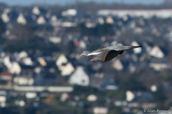 Pigeon ramier (Columba palumbus) (Baie de Saint-Brieuc, Hillion (22), France, le 11/01/2018)