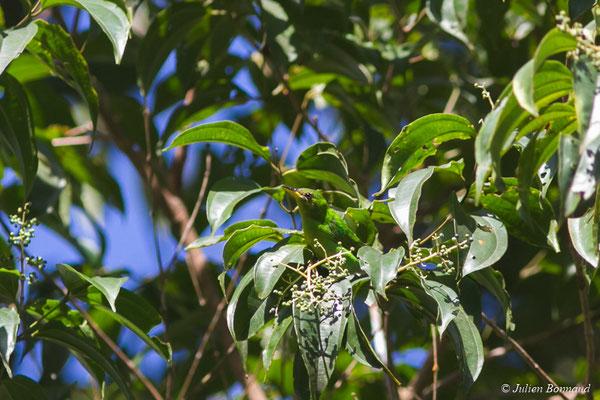 Guit-guit émeraude (Chlorophanes spiza) (femelle adulte) (Gallion, le 07/06/2014)