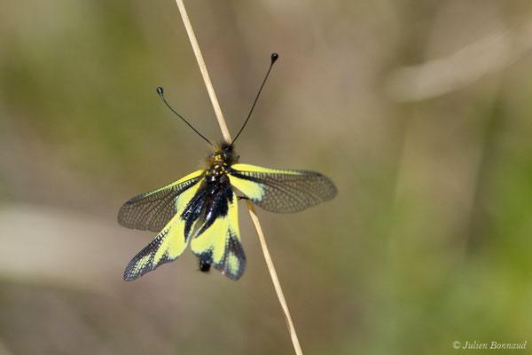 Ascalaphe soufré (Libelloides coccajus) (Pihourc, Saint-Godens (31), France, le 21/05/2018)
