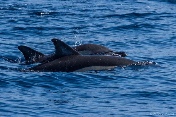 Dauphin commun, Dauphin commun à bec court ou Dauphin commun à bec long – Delphinus delphis Linnaeus, 1758, (Détroit de Gibraltar, Tarifa, Andalousie (Espagne), le 04/08/2020)