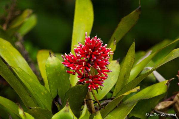 Aechmea melinonii (Réserve Naturelle Trésor, route de Kaw, le 27/02/2017)