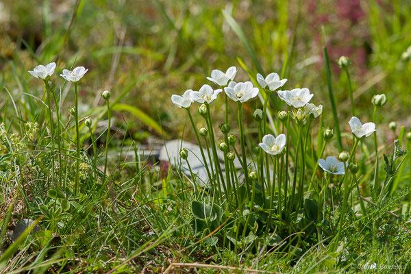 Parnassie des marais ou hépatique blanche (Parnassia palustris) (Station de ski de Gourette, Eaux Bonnes (65), France, le 29/07/2020)