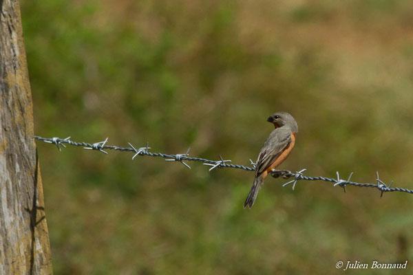 Sporophile petit-louis (Sporophila minuta) (mâle, adulte) (route de Guatémala, le 06/12/2016)