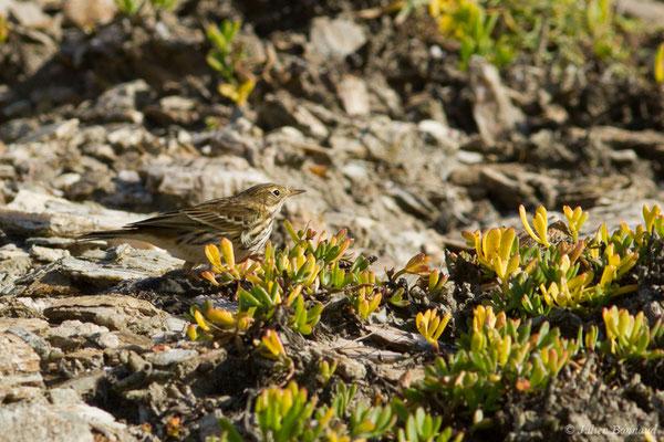 Pipit farlouse (Anthus pratensis) (Bidart (64), France, le 09/11/2018)