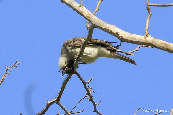 Tyran gris ou Pipiri (Tyrannus dominicensis) (adulte) (route de Guatémala, le 02/01/2016)