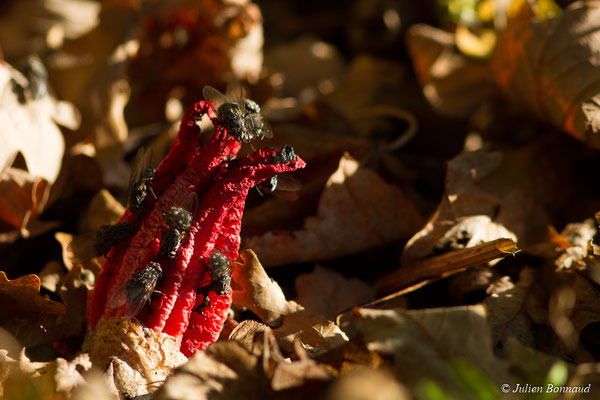Anthurus d'archer (Clathrus archeri) (Pontivy (56), (France), le 13/11/2017)