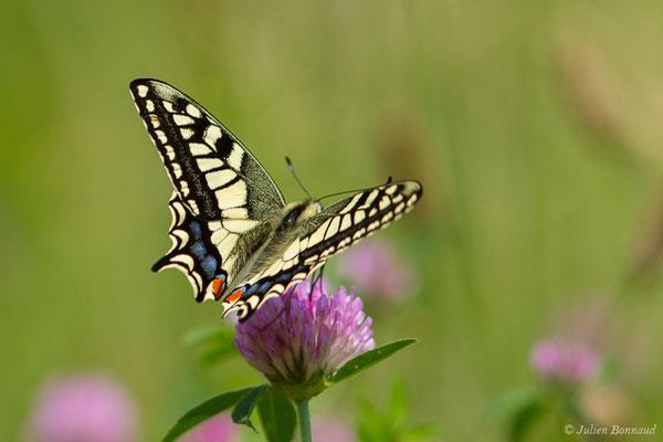 Machaon (Papilio machaon) (Jurançon (64), France, le 25/06/2019)