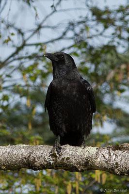 Corneille noire (Corvus corone) (adulte) (Mazerolle (40), France, le 10/04/2020)