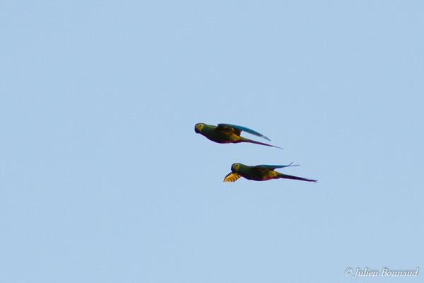 Ara macavouanne (Orthopsittaca manilatus) (couple) (Centre Spatial Guyanais, Kourou, le 09/01/2017)