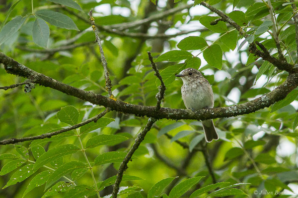 Gobemouche gris (Muscicapa striata) (Saint-Faust (64), France, le 17/07/2019)