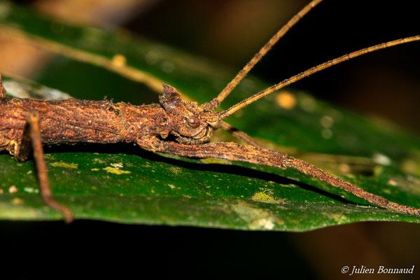 (Creoxylus spinosus) (mâle sub-adulte) (Sentier de la Mirande, le 09-07-2015)