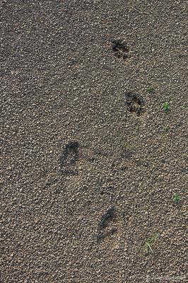 Empreinte de Lapin de garenne – Oryctolagus cuniculus (Linnaeus, 1758), (Azereix (65), France, le 14/01/2019)
