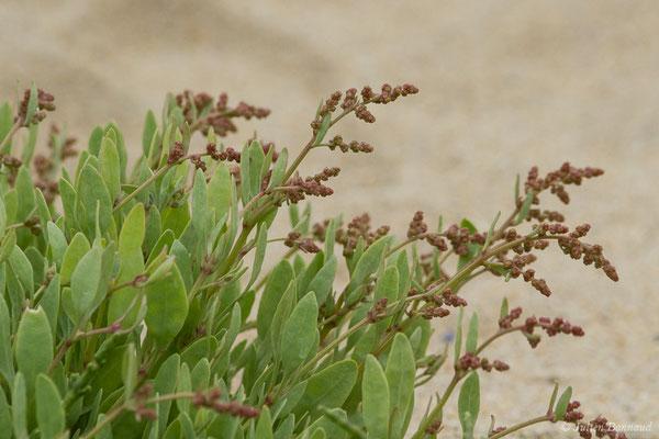 Obione faux pourpier – Halimione portulacoides (L.) Aellen, 1938, (Île-Grande, Pleumeur-Bodou (22), France, le 05/07/2021)