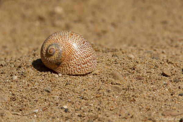Naticarius stercusmuscarum (Gmelin, 1791), (Carnon, Mauguio (34), France, 2011)
