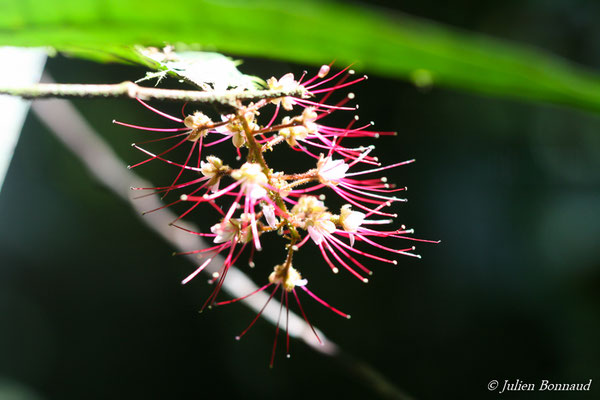 Hirtella silicea (saut Sonelle, Maripassoula, le 09/09/2014)