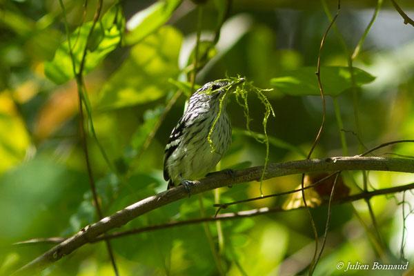 Myrmidon du Surinam (Myrmotherula surinamensis) (femelle, adulte) (Petit-Saut, le 08/07/2016)