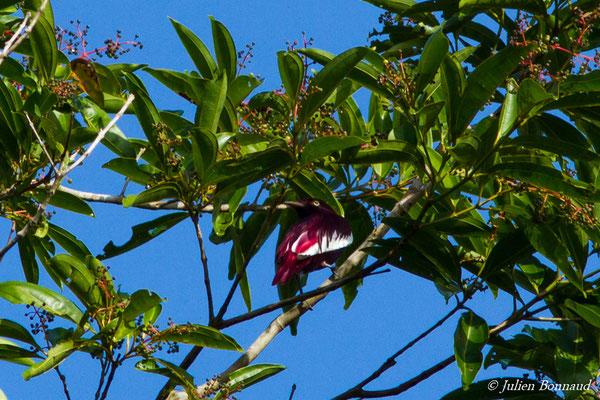 Cotinga pompadour (Xipholena punicea) (mâle adulte) (barrage de Petit-Saut, Kourou, le 13/12/2016)