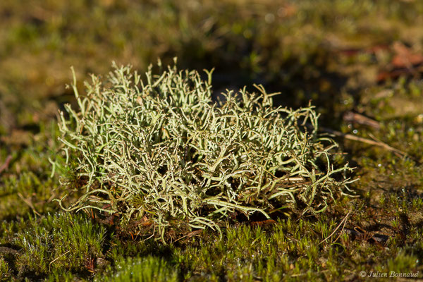 Cladonia portentosa (Lacommande (64), France, le 08/01/2020)
