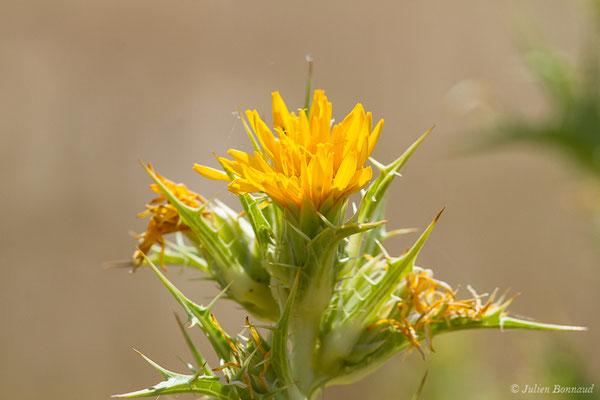 Scolyme d'Espagne ou Chardon d'Espagne (Scolymus hispanicus) (Villafáfila (Castille-et-Léon), Espagne, le 01/08/2020)